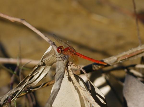 ScarletPercher310307.jpg