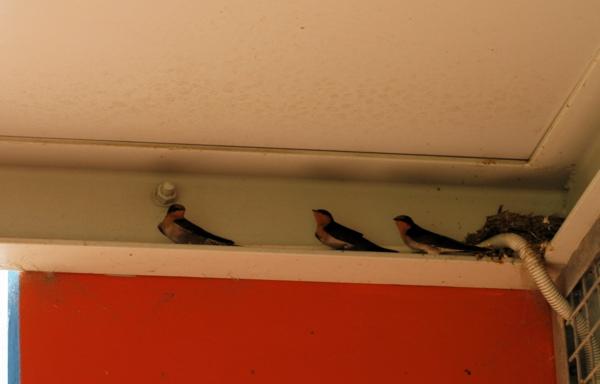 WellcomeSwallow060407.jpg