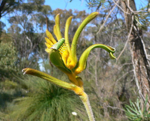 YellowKangaroopaw.jpg