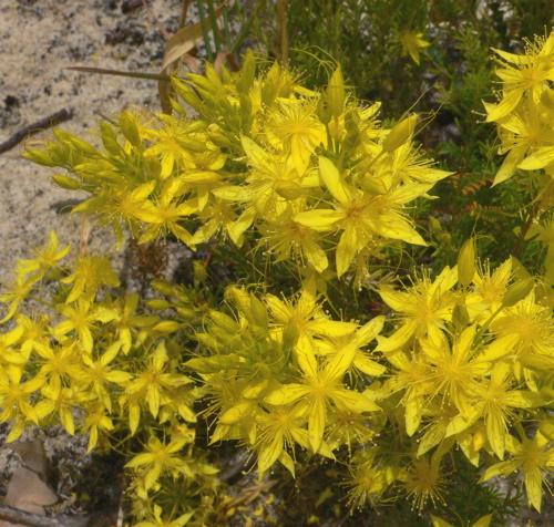YellowStarflower.08.12.06.jpg