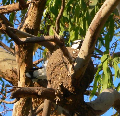 magpie-lark.su.2006.10.jpg