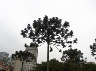 pinheiro1.jpg