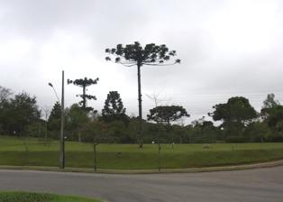 pinheiro2.jpg
