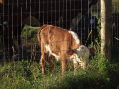 cows farm 1