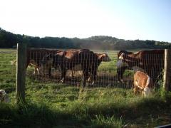 cows farm 2