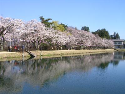 090409飯島、馬見塚公園、花瓶の水仙 006