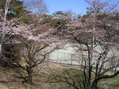 0904011大沼湖桜はつぼみ 005