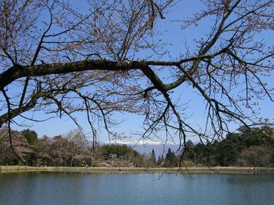 0904011大沼湖桜はつぼみ 001