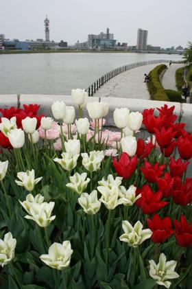 090503信濃川と花 (2)