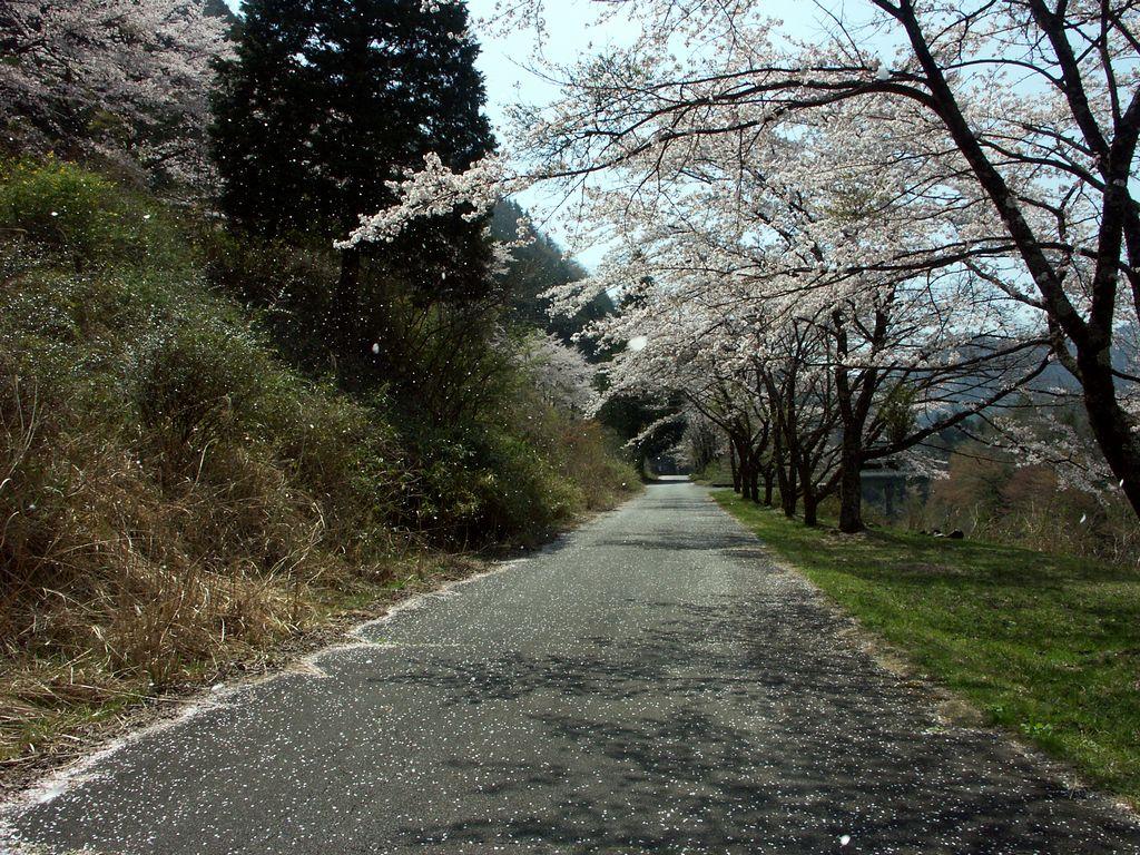 09apr12sakura3003.jpg