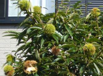 栗の木のアップ