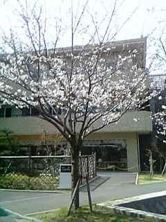 最近、入学式の日には桜の花が枯れることって多いですよね
