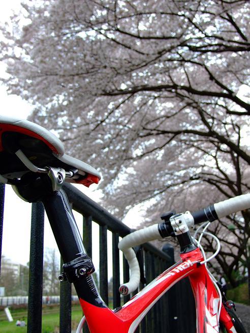 2011_0410野川-桜0083