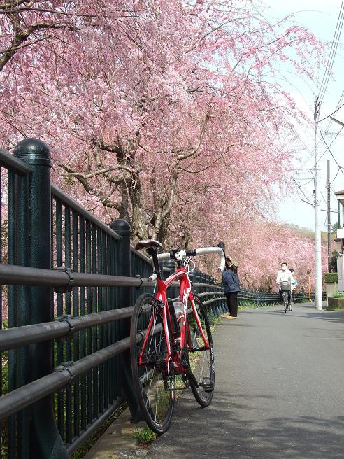 2011_0410野川-桜0063