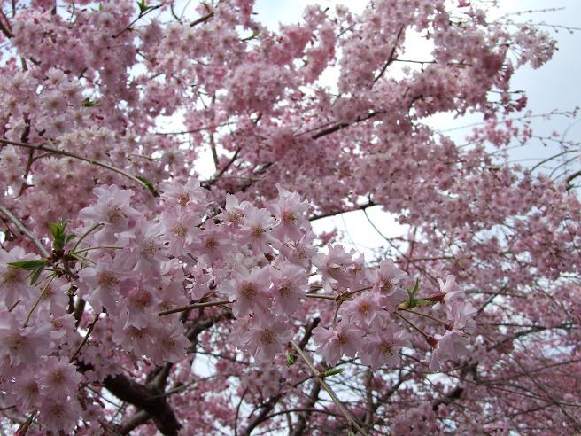 2011_0410野川-桜0057
