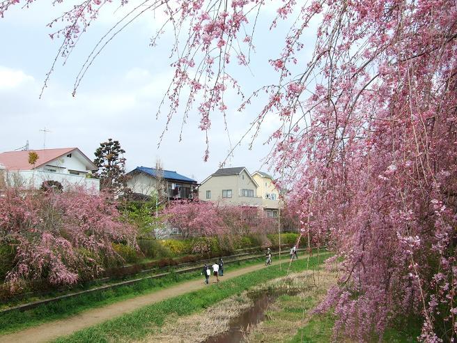 2011_0410野川-桜0055