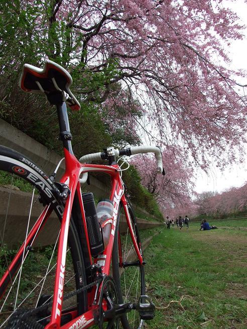 2011_0410野川-桜0072