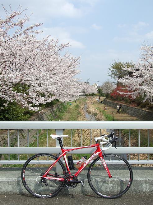 2011_0410野川-桜0048