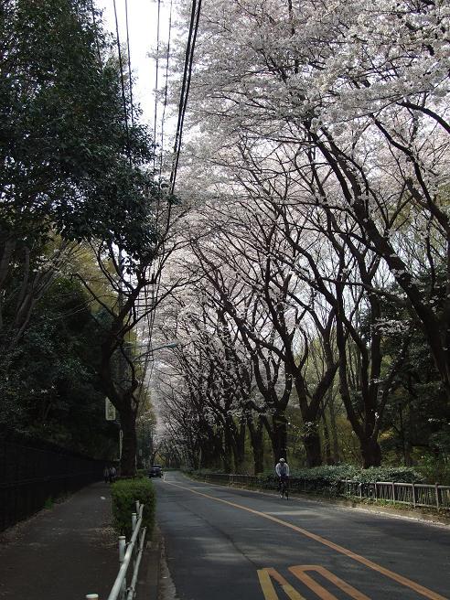 2011_0410野川-桜0095