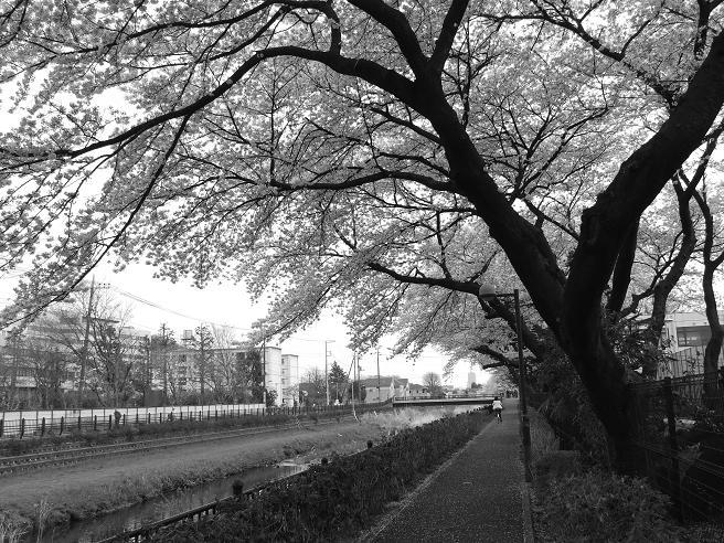 2011_0410野川-桜0085