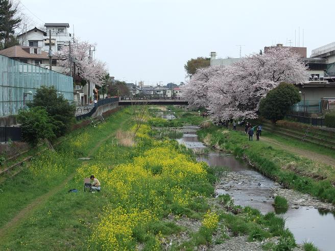 2011_0410野川-桜0086