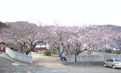 実報寺の桜