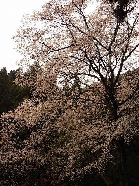 R0019106源太桜