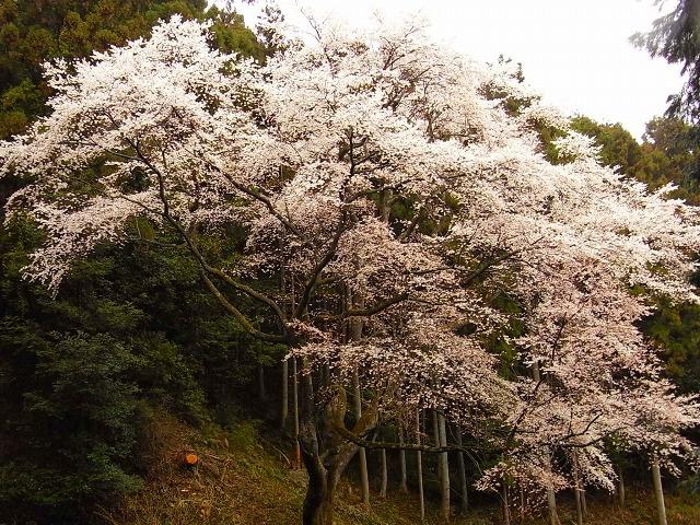 R0019121源太桜