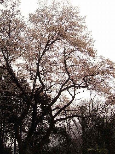 R0019133源太桜