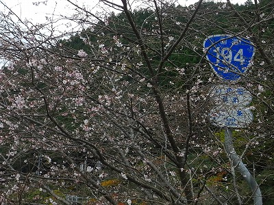 木の香 寒桜①