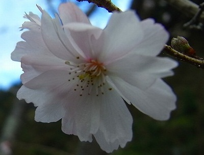 木の香 寒桜②