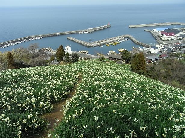 8双海 水仙畑