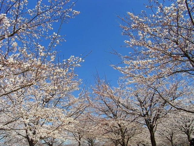 11広瀬公園の桜