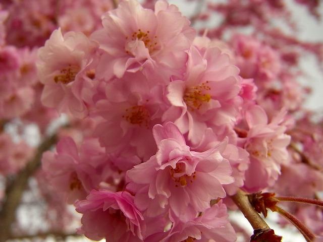 12 枝垂れ桜
