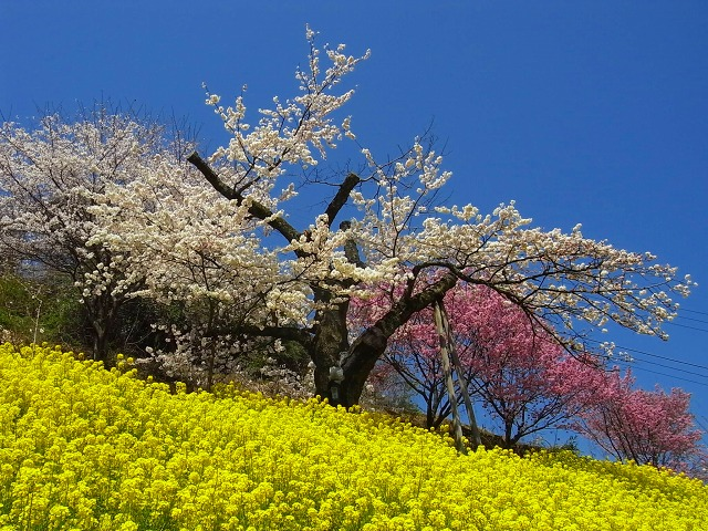 13 西条の桜 陽春