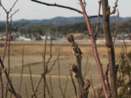 アカメガシワ・冬芽