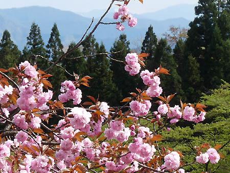 八重桜(カンザン)