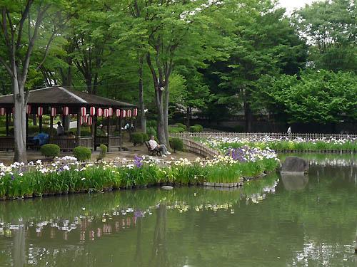 御布呂が池の花菖蒲