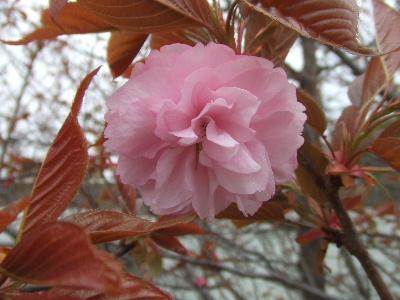 sakura2007_0408(006).jpg