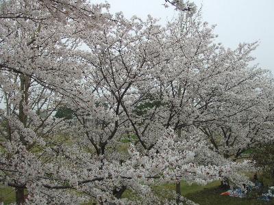 sakura2007_0408(007).jpg
