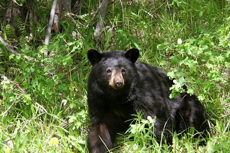 森の熊さん、2008年夏撮影