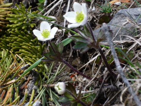 Few Flowered Anemone