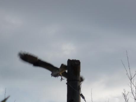 ミサゴ親鳥飛ぶ!