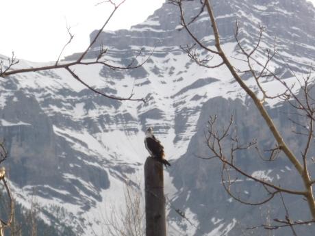 ミサゴ親鳥