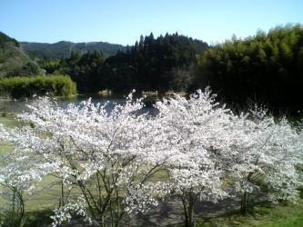 布目ダムの桜