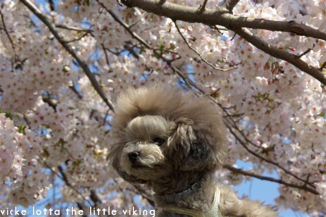 2009.4月5日7日ランチ・弁天桜 244 (Small)
