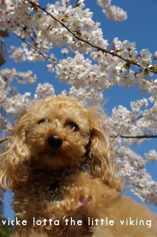 2009.4月5日7日ランチ・弁天桜 219 (Small)