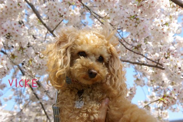 2009.4月5日7日ランチ・弁天桜 262 (Small)
