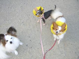 3ワンズの散歩だぞ!