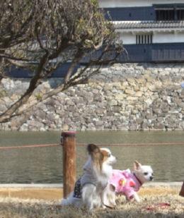 松本城バックにパピクー